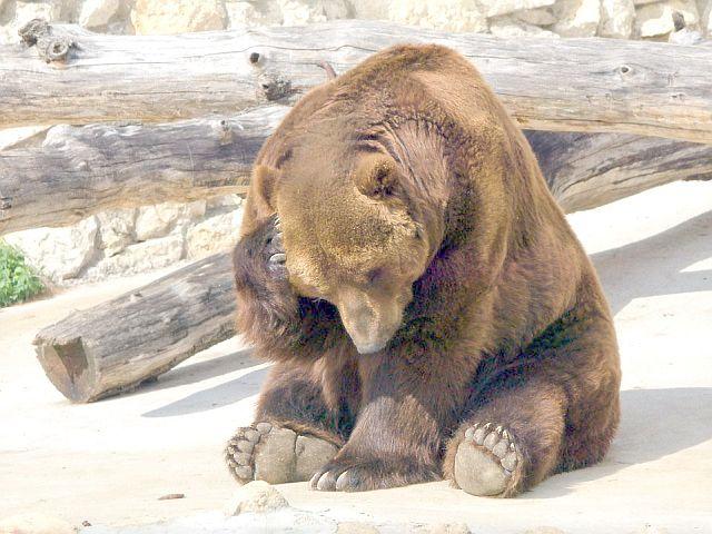 медведь кланяется
